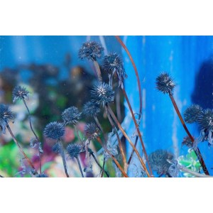 Dried Blue Flowers