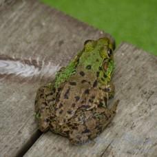 Frog 104